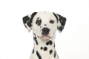 Dalmatian (Head Shot)