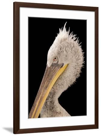 Dalmatian pelican, Pelecanus crispus, at Parc des Oiseaux.-Joel Sartore-Framed Photographic Print
