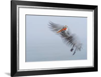 Dalmatian Pelican , Pelecanus Crispus, During Flight-Marcin Dobas-Framed Photographic Print