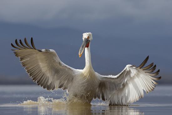 Dalmatian Pelican (Pelecanus Crispus) Pelican Landing While Fishing.Lake Kerkini, Greece. February-David Pattyn-Photographic Print