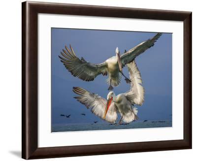 Dalmatian Pelicans , Pelecanus Crispus, During Flight-Marcin Dobas-Framed Photographic Print