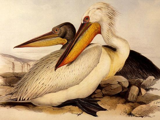 Dalmatian Pelicans, Pelecanus Crispus-Edward Lear-Giclee Print