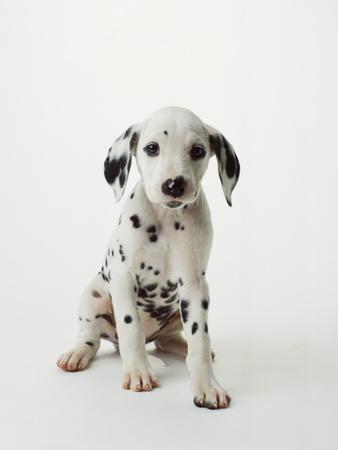 Dalmatian Puppy-Don Mason-Framed Photographic Print