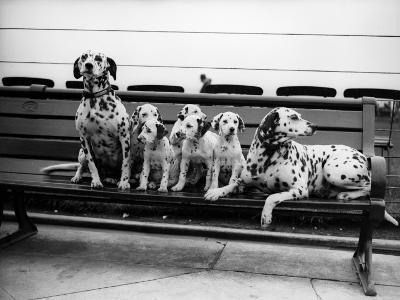 Dalmatian Pups--Photographic Print