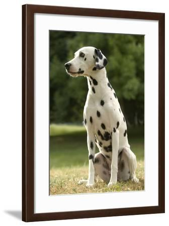 Dalmatian Sitting--Framed Photographic Print