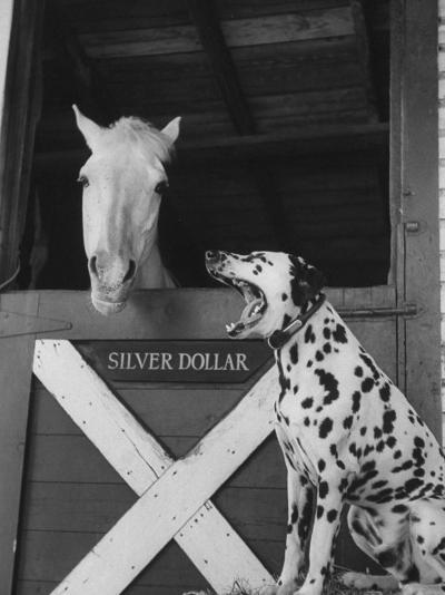Dalmatian Stable Dog at Mystery Stables--Photographic Print