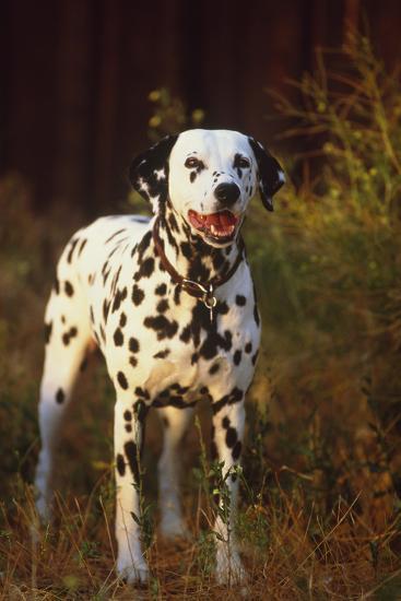 Dalmatian-DLILLC-Photographic Print
