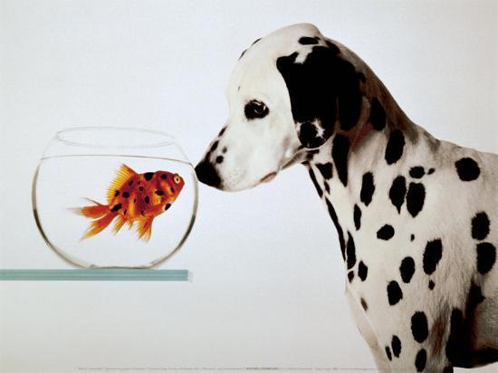 Dalmation Dog Looking at Dalmation Fish-Michel Tcherevkoff-Art Print
