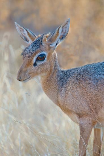 Damara Dik-Dik (Madoqua Kirkii), Etosha National Park, Namibia--Photographic Print