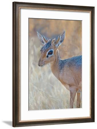 Damara Dik-Dik (Madoqua Kirkii), Etosha National Park, Namibia--Framed Photographic Print