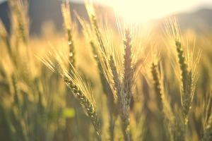Sunset over Wheat Field by DambrAles