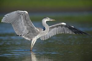 Grey Heron with Wings Out Stretched, Elbe Biosphere Reserve, Lower Saxony, Germany, September by Damschen