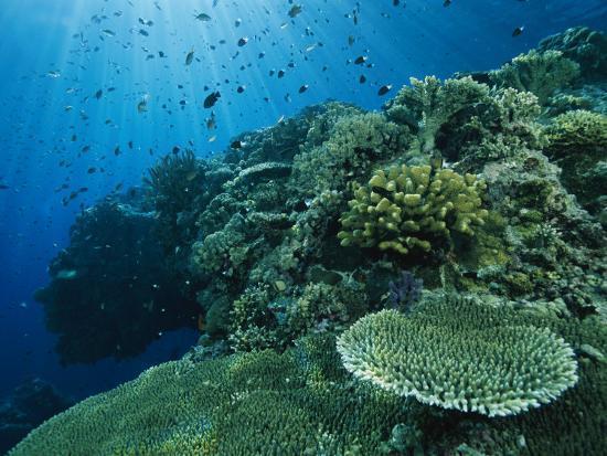 Damselfish and Other Reef Dwellers Swim Among Hard Corals-Tim Laman-Photographic Print