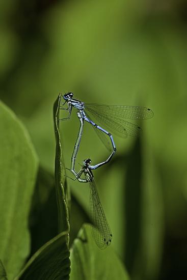 Damselfly - Mating-Paul Starosta-Photographic Print