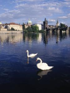 Swans, River Vltava, Prague, Czech Republic by Dan Gair