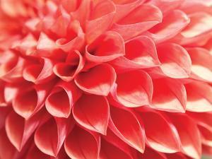 Coral Funnel Dahlia by Dana Styber
