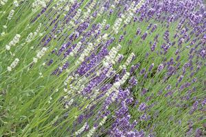 Flowing Lavender II by Dana Styber