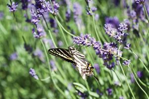 Lavender and Butterfly I by Dana Styber