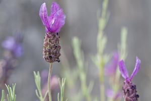 Lavender Bud II by Dana Styber