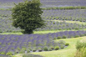 Lavender Field and Tree by Dana Styber