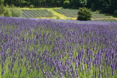 Lavender Field III