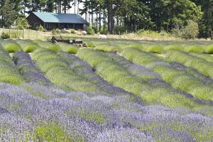 Lavender Hill I by Dana Styber