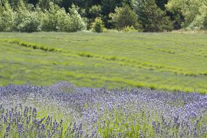 Lavender Hill II by Dana Styber