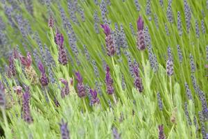 Lavender Sway I by Dana Styber