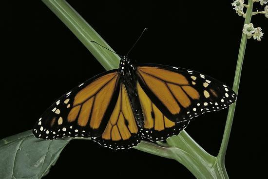 Danaus Plexippus (Monarch Butterfly)-Paul Starosta-Photographic Print