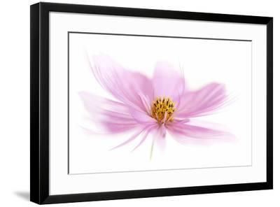 Dancing Flower Pink Cosmos-Cora Niele-Framed Giclee Print