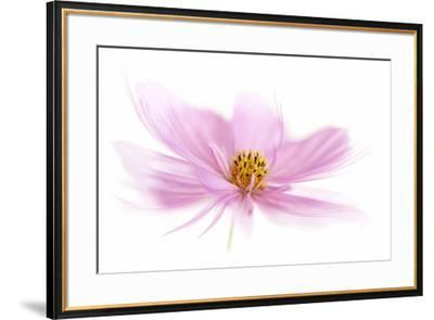 Dancing Flower Pink Cosmos-Cora Niele-Framed Giclee Print