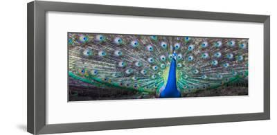 Dancing Peacock, India