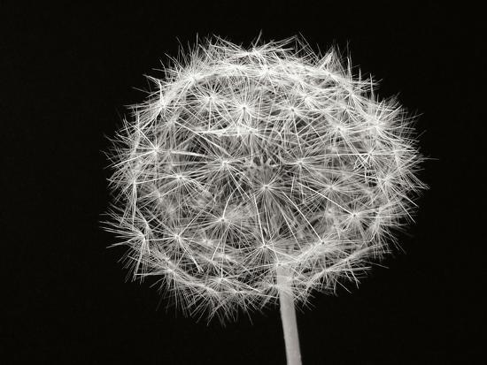 Dandelion 1-Jim Christensen-Photographic Print