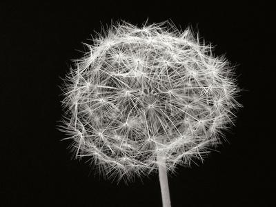https://imgc.artprintimages.com/img/print/dandelion-1_u-l-q10pol60.jpg?p=0