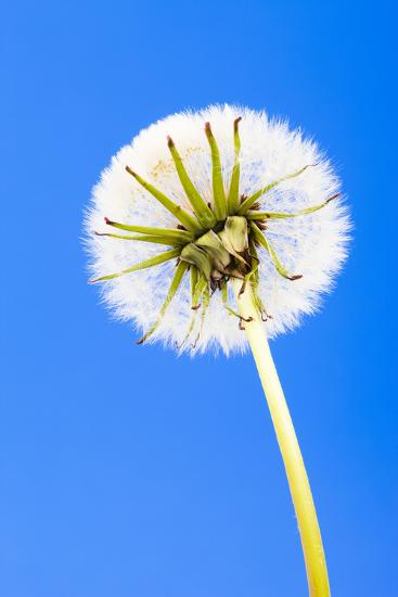Dandelion, Blowball, Taraxacum Officinale, Blue Background-Frank Lukasseck-Photographic Print