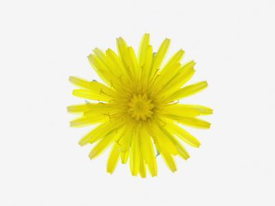 Dandelion Flower (Taraxacum Officinale), a Composite--Photographic Print