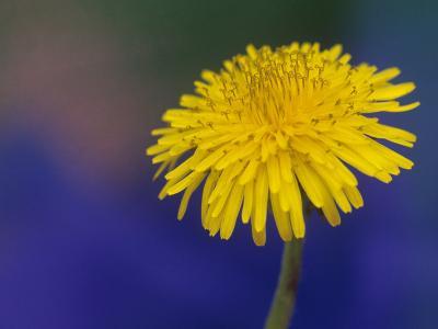 Dandelion Flower, Taraxacum Officinale-Adam Jones-Photographic Print