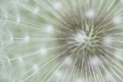 Dandelion Focus-Wild Wonders of Europe-Giclee Print