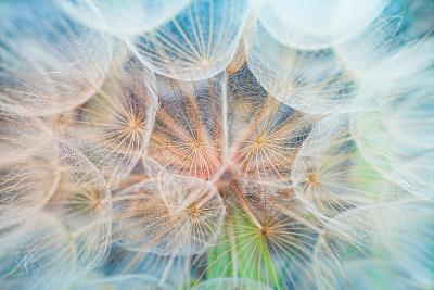 Dandelion Inside,Macro Photography-hofhauser-Photographic Print