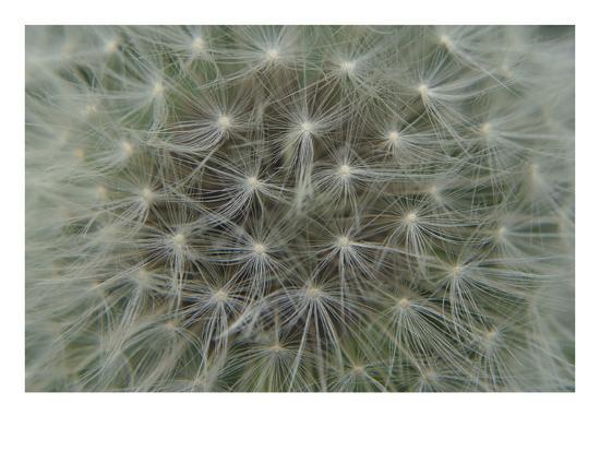 Dandelion Puff-Karen Ussery-Premium Photographic Print