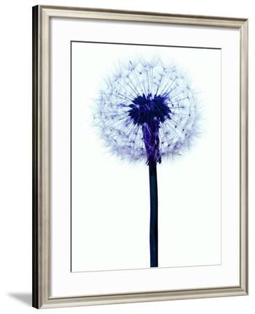 Dandelion Seed Head-Victor De Schwanberg-Framed Photographic Print