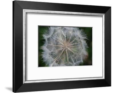 Dandelion seed head-Angela Marsh-Framed Photographic Print