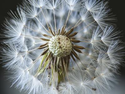 Dandelion Seed-Margaret Morgan-Photographic Print