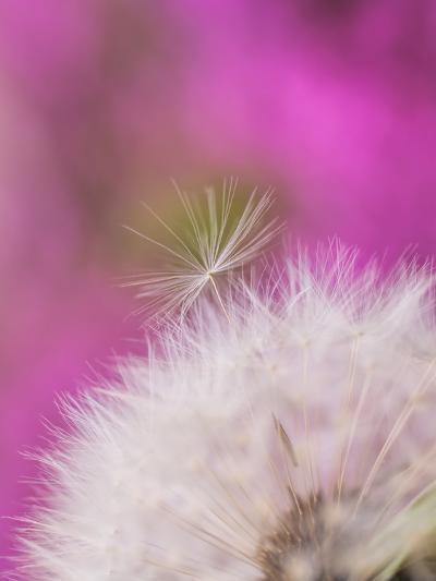 Dandelion Seedhead Flower 3-Grab My Art-Art Print