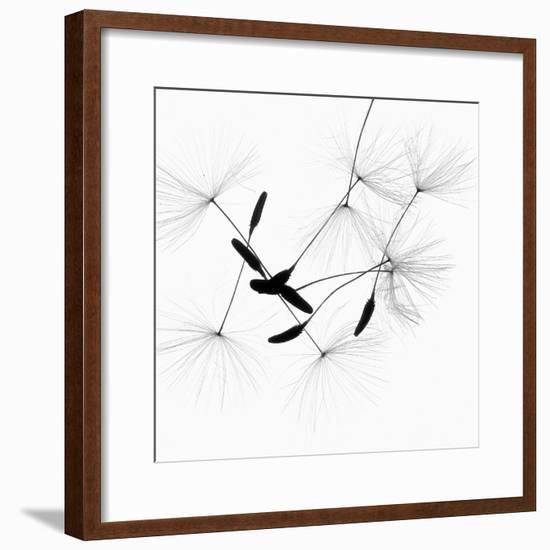 Dandelion Spores on White-Robert Cattan-Framed Photographic Print