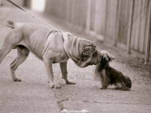 Dandelion the Chinese Shar Pei and Twiglet the Yorkshire Terrier, November 1981