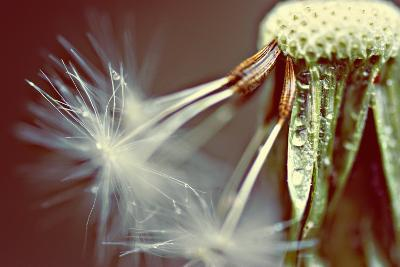 Dandelion with Droplets--Photographic Print