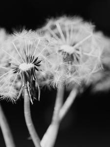 Dandelions Photography Artwork For Sale Posters And Prints At Art