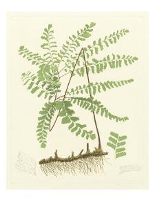 Eaton Ferns II by Daniel C. Eaton
