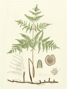 Eaton Ferns III by Daniel C. Eaton